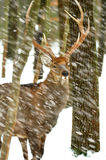 Deer in forest Stock Images