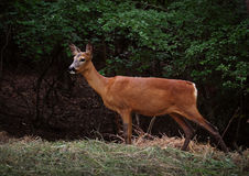 A deer in a forest. On a summer morning Stock Photography