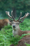 Deer in a forest. A high resolution image of a deer in a herd Royalty Free Stock Photo