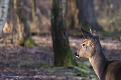 Deer in the forest. A deer in the forest Royalty Free Stock Images