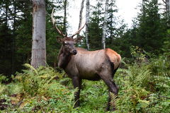 Deer in the forest. In the Altai Stock Photo