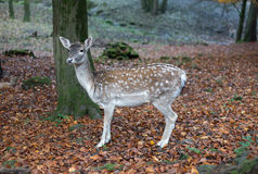 Deer in the forest Royalty Free Stock Photo