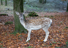 Deer in the forest Royalty Free Stock Images