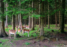 Deer in Forest Stock Image