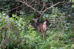 Deer in forest, Chitwan National Park, Nepal Stock Photos