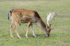 Deer in forest. Close Deer in the natural environment in the autumn Stock Photos