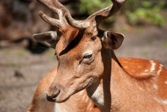 Deer in the forest close up Royalty Free Stock Image