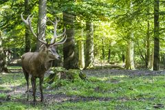 Deer in the forest. Beautiful trees illuminated with sunbeams stock images
