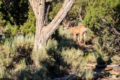 Deer in forest. Grand Canyon National Park, Arizona, USA Stock Images