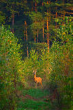 Deer In The Forest Royalty Free Stock Photos