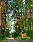 Deer in a forest Stock Images