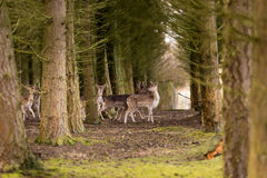 Deer in the forest. Looking if somebody is out there stock image