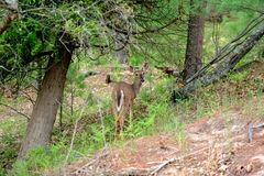 Deer at forest Stock Images