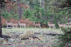 6 deer in the forest Royalty Free Stock Photography