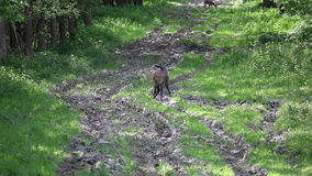 Deer in forest stock footage