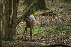 Roe deer in the forest. stock images