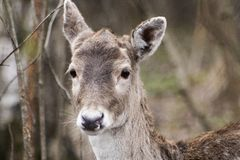Deer in the forest. Spotted deer and children deer. Autumn shooting deer. royalty free stock photos