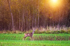 Deer in forest, sun shine stock photos
