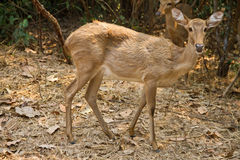 Deer in the forest. Thailand Royalty Free Stock Photo