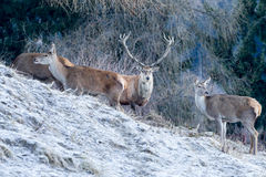 Deer in forest in winter. Antler and female in the alps - Tirol Stock Photos