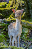 Deer in forest. Young deer in a forest Royalty Free Stock Image