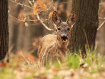 Deer in Forest. Young deer in a forest near Prague Stock Photo