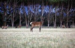 Deer in a forrest Stock Image