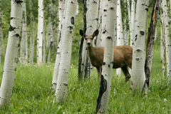 Deer in forrest. Deer in colorado mountians, aspen forrest stock image