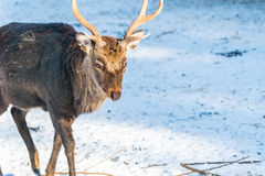 Deer in the forrest in autumn/winter time with brown leafes gree Stock Photo