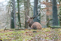 Deer in the forrest in autumn/winter time with brown leafes and Royalty Free Stock Images
