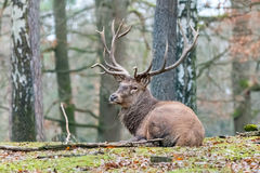 Deer in the forrest in autumn/winter time with brown leafes and Royalty Free Stock Image