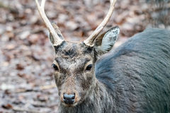 Deer in the forrest in autumn/winter time with brown leafes and Stock Photography