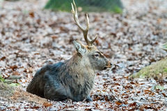 Deer in the forrest in autumn/winter time with brown leafes and Stock Photos