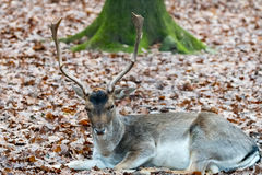 Deer in the forrest in autumn/winter time with brown leafes and Stock Photo