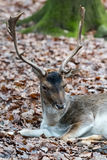 Deer in the forrest in autumn/winter time with brown leafes and Royalty Free Stock Photo