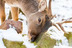Deer in the forrest in autumn/winter time with brown leafes, sno Royalty Free Stock Images