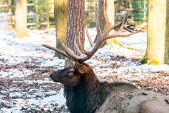 Deer in the forrest in autumn/winter time with brown leafes, sno Stock Photo