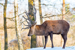 Deer in the forrest in autumn/winter time with brown leafes, sno Royalty Free Stock Photo