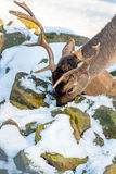 Deer in the forrest in autumn/winter time with brown leafes, sno Stock Images