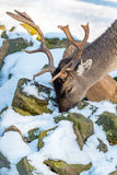 Deer in the forrest in autumn/winter time with brown leafes, sno Royalty Free Stock Image