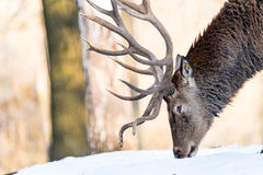 Deer in the forrest in autumn/winter time with brown leafes, sno Stock Image