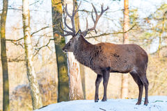 Deer in the forrest in autumn/winter time with brown leafes, sno Stock Photos
