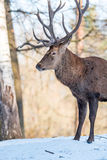 Deer in the forrest in autumn/winter time with brown leafes, sno Royalty Free Stock Photography