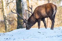 Deer in the forrest in autumn/winter time with brown leafes, sno Royalty Free Stock Photos