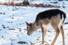 Deer in the forrest in autumn/winter time with brown leafes, snow and blurry background royalty free stock photography