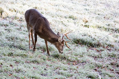 Deer in the freezing cold Stock Image