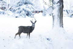 Deer in the fresh snow Stock Images