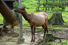 Deer, friendly animals at the Prague Zoo. Stock Photography