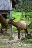 Deer, friendly animals at the Prague Zoo. Royalty Free Stock Image