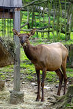 Deer, friendly animals at the Prague Zoo. Stock Images